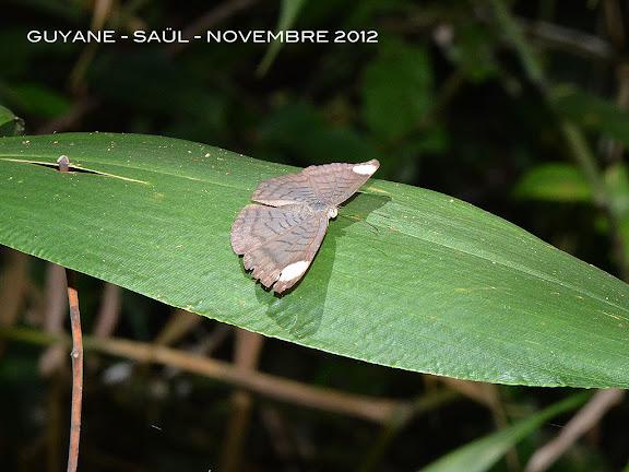 Emesis lucinda (CRAMER, 1775), femelle. Saül, novembre 2012. Photo : M. Belloin