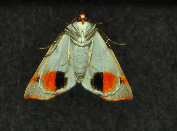 Geometridae : Ennominae : Nacophorini : Thalaina clara WALKER, 1855, verso. Umina Beach (NSW, Australie), 25 avril 2011. Photo : Barbara Kedzierski