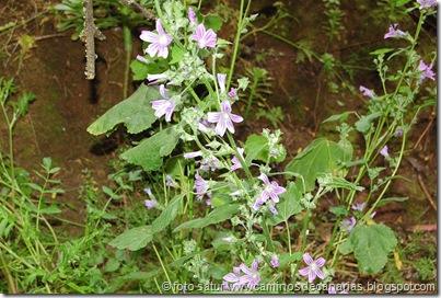 0658 Cruz Llanos-Utiaca(Malva bastarda)