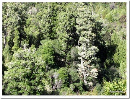 NZ native bush on the Napier - Taupo highway.