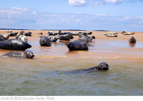 'Blakeney Point Seals' photo (c) 2009, Duncan Harris - license: http://creativecommons.org/licenses/by/2.0/