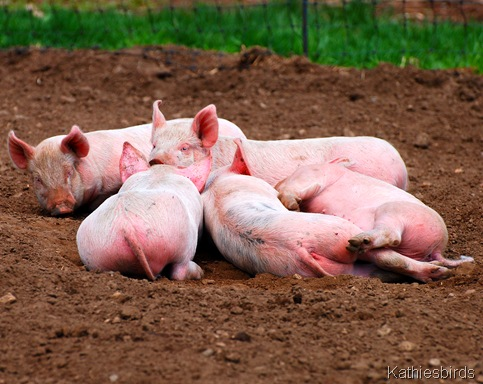 11. piles of pigs-kab