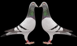 pigeons in conversation