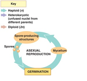 Fungi Life Cycle Asexual reproduction