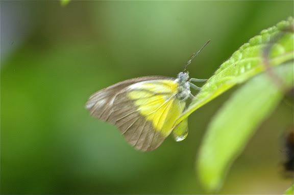 Appias lyncida enarete BOISDUVAL, 1836, mâle. Moyog, Crocker Range (Sabah, Malaisie, Bornéo), 18 août 2011. Photo : J.-M. Gayman