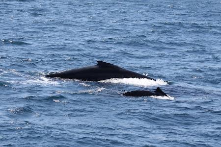 Imagini Australia: Sydney Puiul de balena cu cocoasa si mama lui la mai putin de 10 metri de barca noastra.JPG