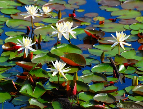 13. July 2011 Lilypads-kab