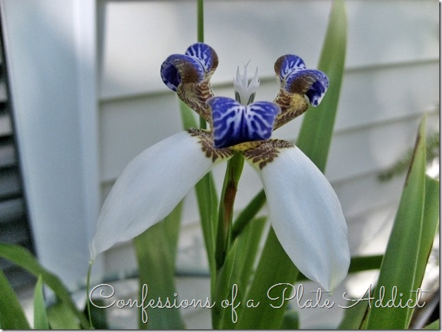 CONFESSIONS OF A PLATE ADDICT Walking Iris in Bloom
