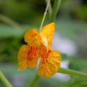 Cape Jewelweed