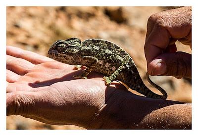 Im hohen Atlas: Ein Chamälion auf der Hand