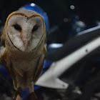 Javanesse Barn Owl