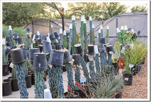141231 Tucson Bachs 0007