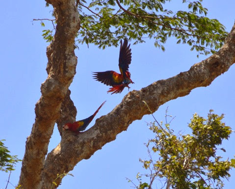 Macaws_flying_Palo Verde tour DSC_0197