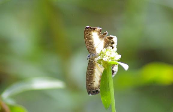 Riodinidae : Nymphidium baeotia HEWITSON, (1853). Piste de Coralie (Guyane). 26 novembre 2011. Photo : J.-M. Gayman