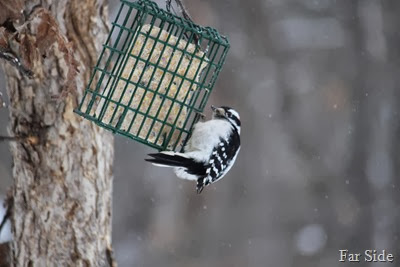 Downy Woodpecker Jan 16 2014