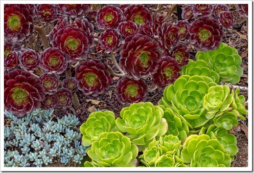 120928_SucculentGardens_aeoniums-at-entrance