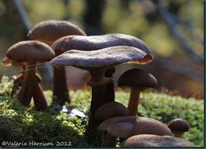 36-Honey Fungus (Armillaria mellea)