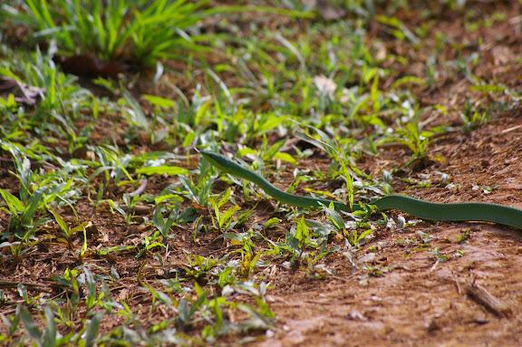 Serpent liane (Oxybelis fulgidus DAUDIN, 1803). Saül (Guyane), 2 décembre 2011. Photo : J.-M. Gayman