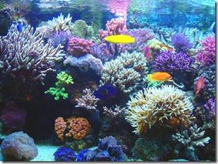 colonia de corales