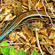 (American) Five-lined Skink