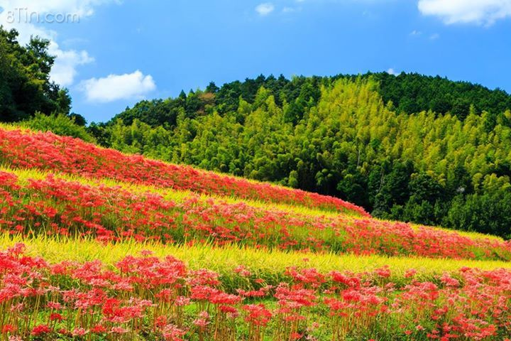 Màu hoa đỏ xen lẫn màu chín vàng của lúa,nằm bên cạnh