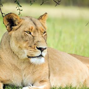 Lioness by Belinda Liebenberg - Animals Lions, Tigers & Big Cats (  )