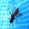 Wasp / Avispa