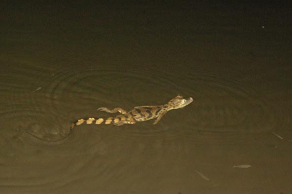 Caïman du marais de Kaw (Guyane). 18 novembre 2011. Photo : J.-M. Gayman