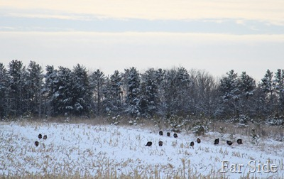 Turkeys Dec 23
