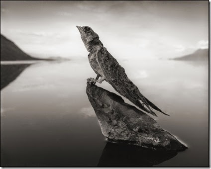 CALCIFIED SWALLOW, LAKE NATRON, 2012 -- From Nick Brandt's book Across The Ravaged Land (Abrams 2013)
