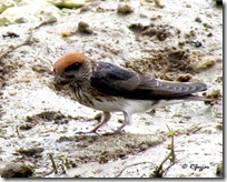 048 Streak throated Swallow