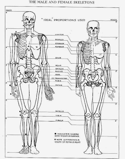 Difference Between Male And Female Skeleton