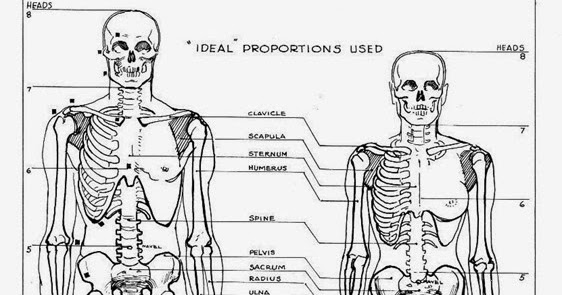 Difference Between Male And Female Skeleton Major Differences