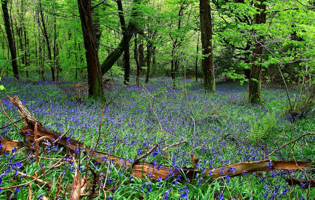 Blubells at Castlewellan.jpeg