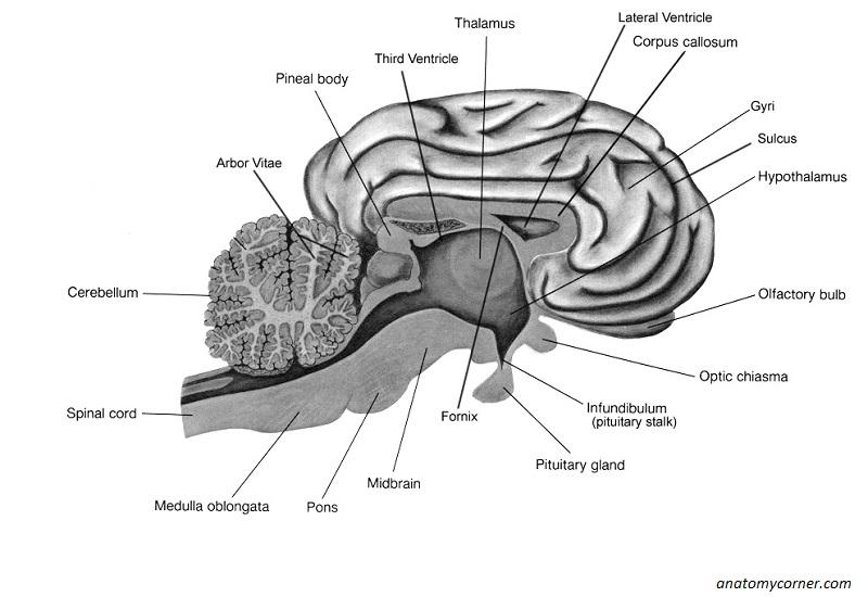 Sheep Brain Dissection Anatomy Corner