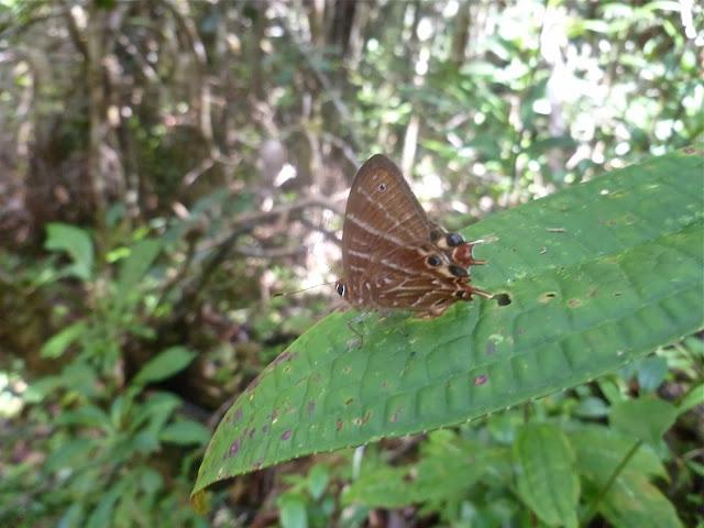 Riodinidae : Saribia tepahi BOISDUVAL, 1833, endémique. Parc de Mantadia (Madagascar), 27 décembre 2013. Photo : J. Marquet
