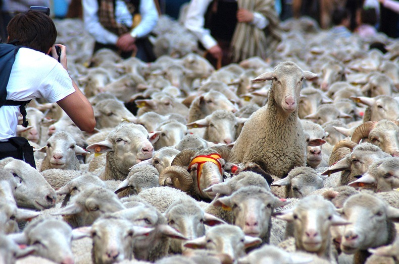 sheep-protest-2