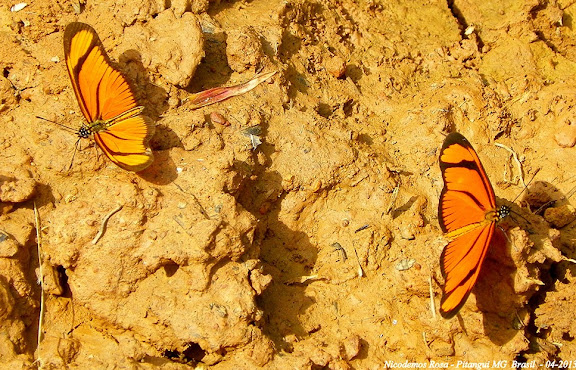 Eueides aliphera aliphera (GODART, 1819). Pitangui (MG, Brésil), 21 avril 2013. Photo : Nicodemos Rosa