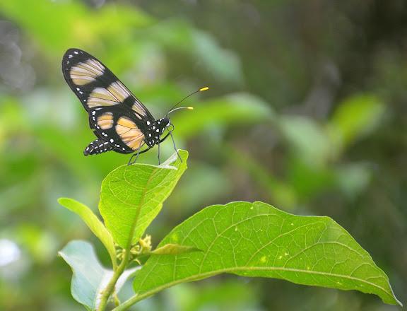 Methona confusa BUTLER, 1873. Crique Tortue, près de Saut Athanase (Guyane). 23 novembre 2011. Photo : M. Belloin