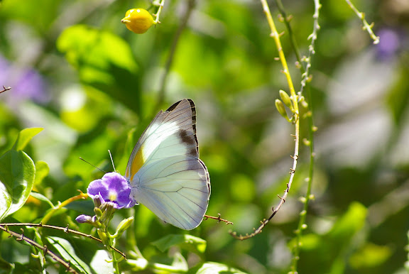 Glutophrissa drusilla drusilla CRAMER, [1777], mâle (sur Duranta repens, Vanillier de Cayenne). Santa Teresa. Rio de Janeiro, 1er février 2012. Photo : J.-M. Gayman