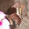 Polydamas Swallowtail.