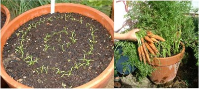 carrots_in_containers