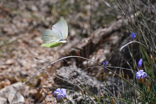 Gonopteryx rhamni (L., 1758), femelle. Le Vigier, près de Lagorce (Ardèche), 19 avril 2014. Photo : L. Voisin