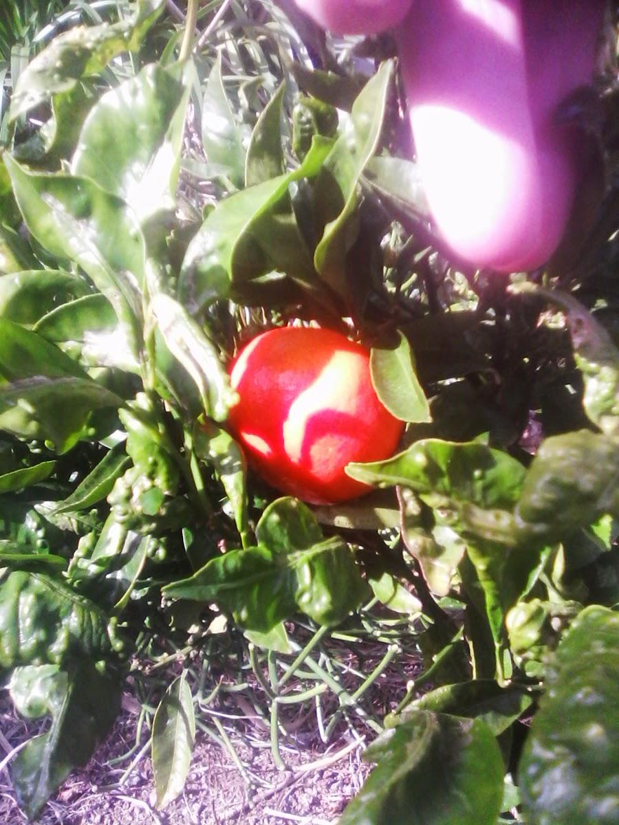 de tuin draagt vrucht