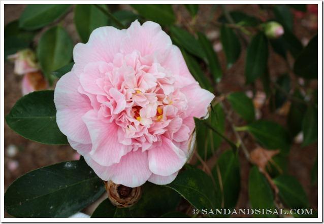 C.M. Wilson Camellia (1024x683)