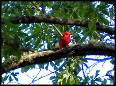 01 - Summer Tanager