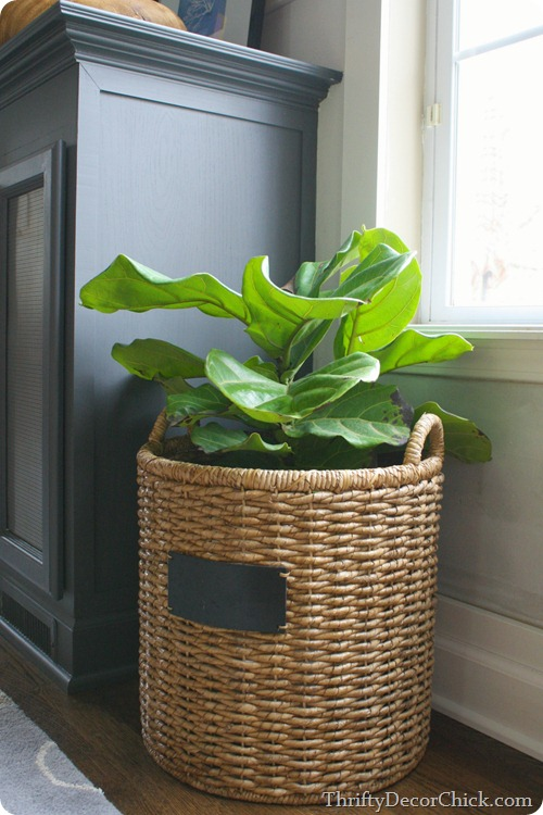 fiddle leaf plant in basket