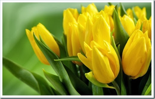 yellow-tulips-hd_tn2