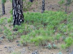 Rebrotes de pino canario (Pinus canariensis) tras un incendio