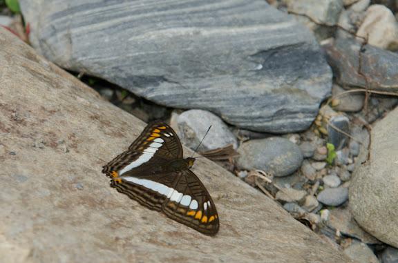 Adelpha alala negra (C. & R. FELDER, 1862). Nord de Coroico à 1007 m d'alt. (Yungas, Bolivie), 17 octobre 2012. Photo : C. Basset
